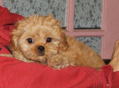 Peekapoo Puppies on Colors   Peekapoo Pekeapoo Puppies